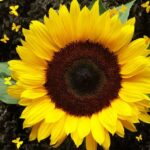 Гибриды семян подсолнечника Лимагрейн (Limagrain)