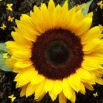 Гибриды семян подсолнечника Сингента (Syngenta)