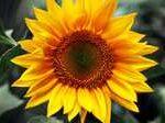 Гибриды семян подсолнечника — Сингента НК Неома, Тристан, Фортими от Сингента