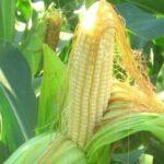 Гибриды семян кукурузы Сингента (Syngenta)