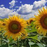 Продам семена гибридов подсолнечника ВНИС