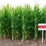 Гібрид кукурудзи ПОЛТАВА (ФАО 270)