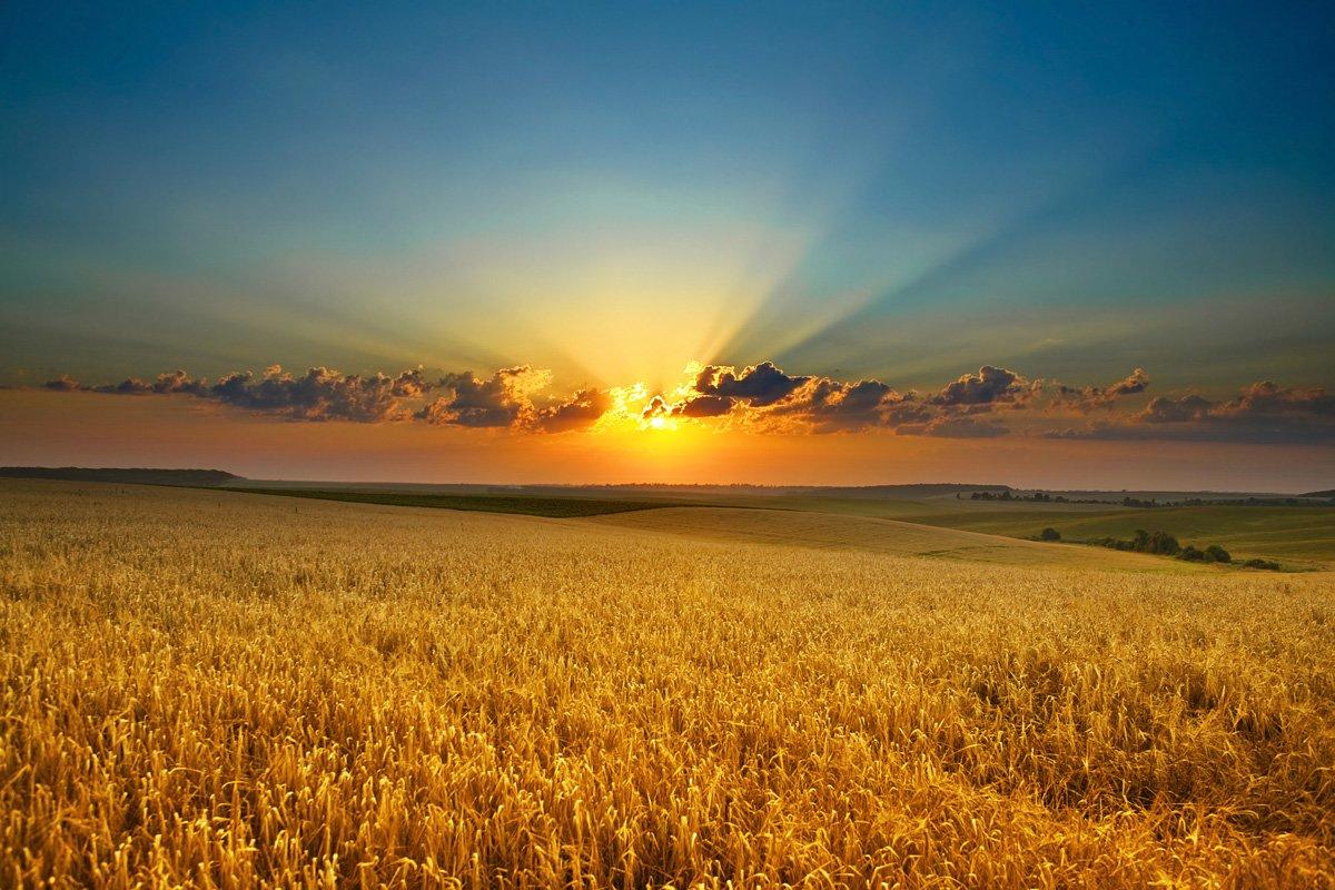 поле колоски закат скачать