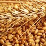 Куплю пшеницю фуражну за готівку