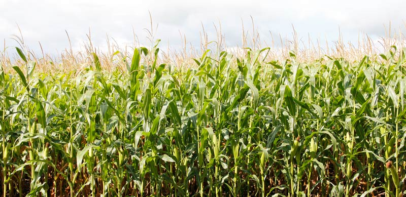 защиты кукурузы