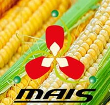 День кукурудзи компанії маїс
