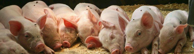 Эффективное воспроизводство на свинокомплексе