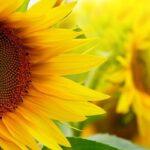 гібриди соняшнику