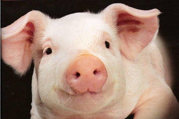 Поголовье свиней на предприятиях увеличилось