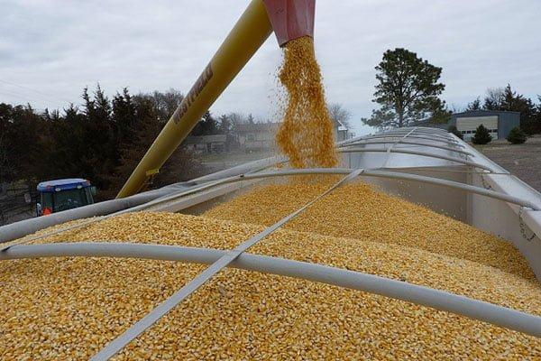 Украина увеличила экспорт кукурузы