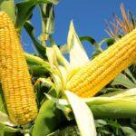 Гібрид кукурудзи