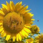 соняшника
