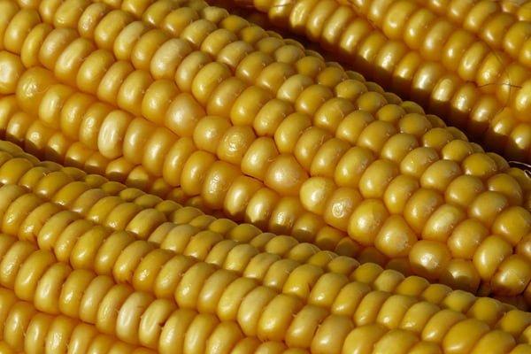 Экспорт кукурузы вырос