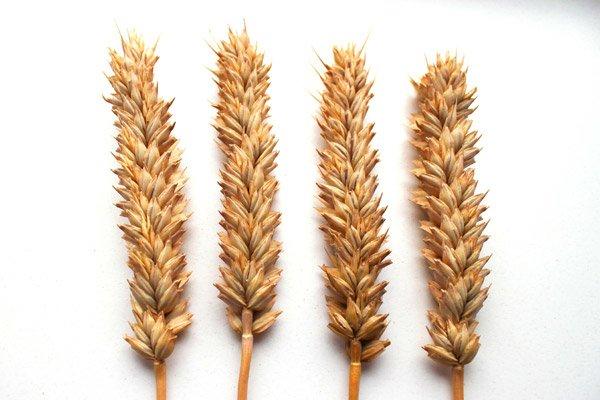 сортів пшениці