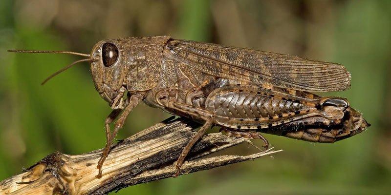 комах