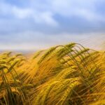 пшениці озимої