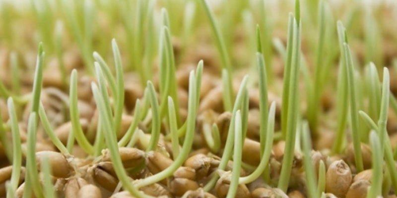 врожаю озимих зернових
