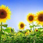 гібридів соняшника