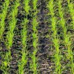 пшениці