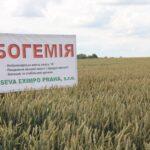 Посівний матеріал озимої пшениці ТУРАНДОТ(1репродукція)