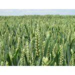Посівний матеріал озимої пшениці МЕСКАЛЬ (1репродукція)