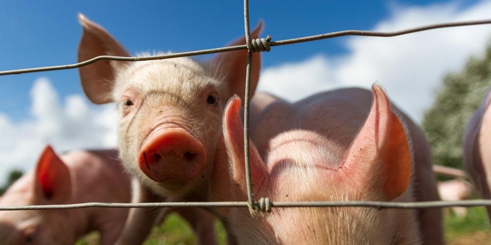 свиней