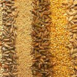 Куплю соняшник, пшеницю, ячмінь, кукурудзу