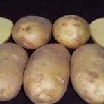 Картофель ранний, средеранний посадочный: Киранда, Королева Анна, Киви и др.